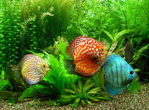 ikan hias air tawar yang mudah dipelihara