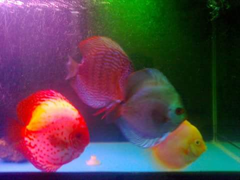 ikan disscus