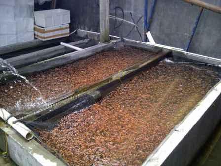 bibit ikan nila merah super