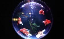 cara merawat ikan hias aquarium